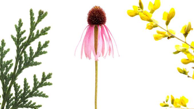 Infektsaison: Die Kombination aus Lebensbaum, Sonnenhut und Färberhülse wirkt direkt antiviral und unterstützt gezielt das Immunsystem.