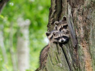 Ob die Waschbären-Mama wohl zurückkommt? In Bayern stehen die Chancen schlechter als in anderen Bundesländern. Elterntiere dürfen entgegen der Bundesregelung abgeschossen werden