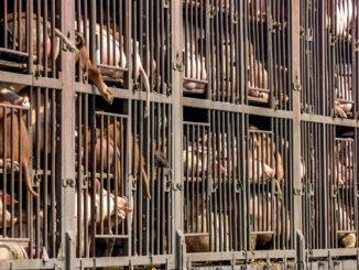Tiertransporte in der Massentierhaltung